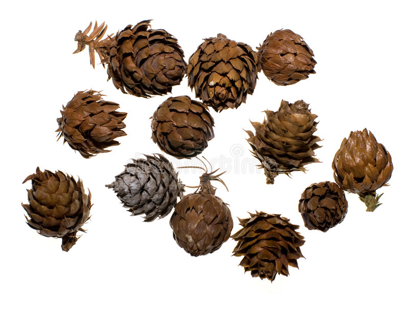 China Fir Tree Cones. Seed cones of a China Fir tree on white background. Lit from behind to eliminate shadow royalty free stock photography