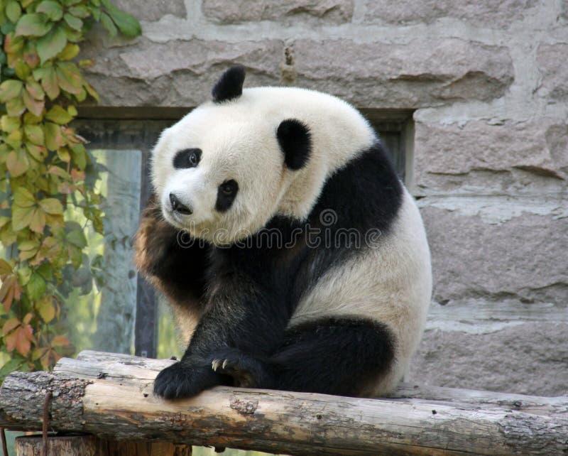China Panda en el parque zoológico de Pekín fotos de archivo