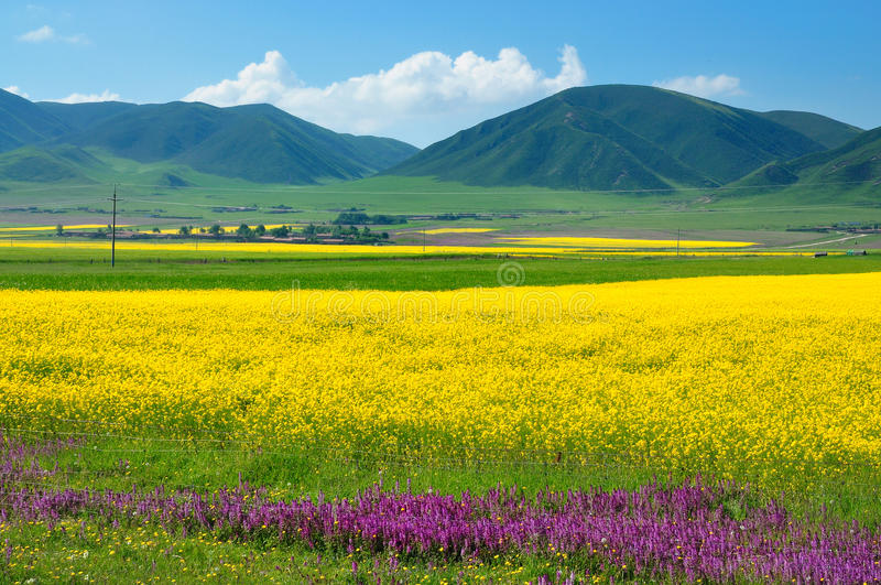 China Qinghai Landscape. Every year in July,in China Qinghai Province ,one million acres blossom royalty free stock image
