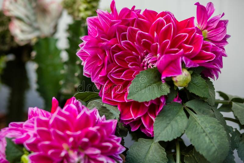China red flowers royalty free stock photos