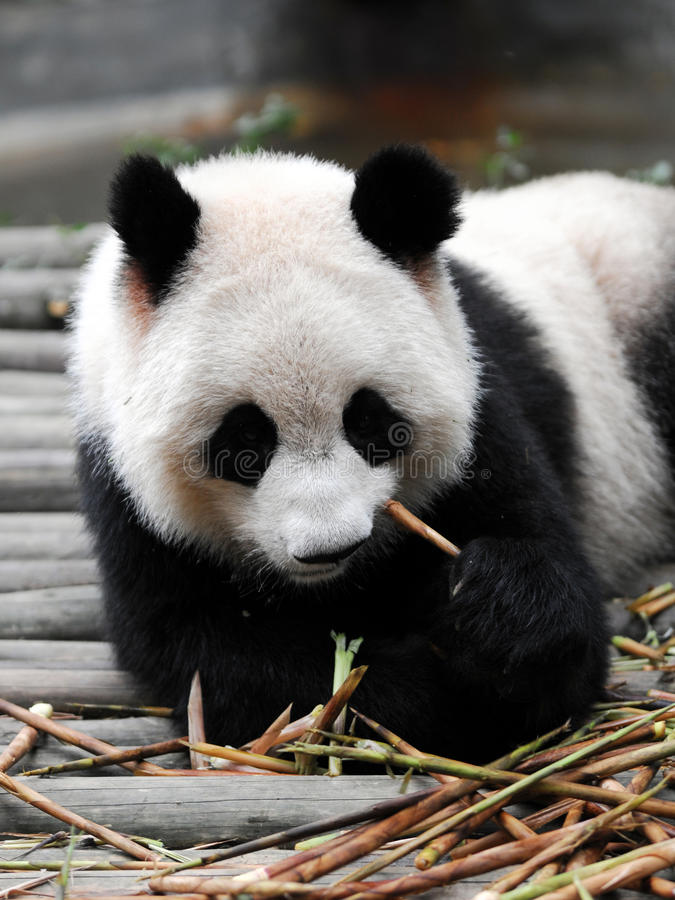 China-riesiger Panda stockbilder