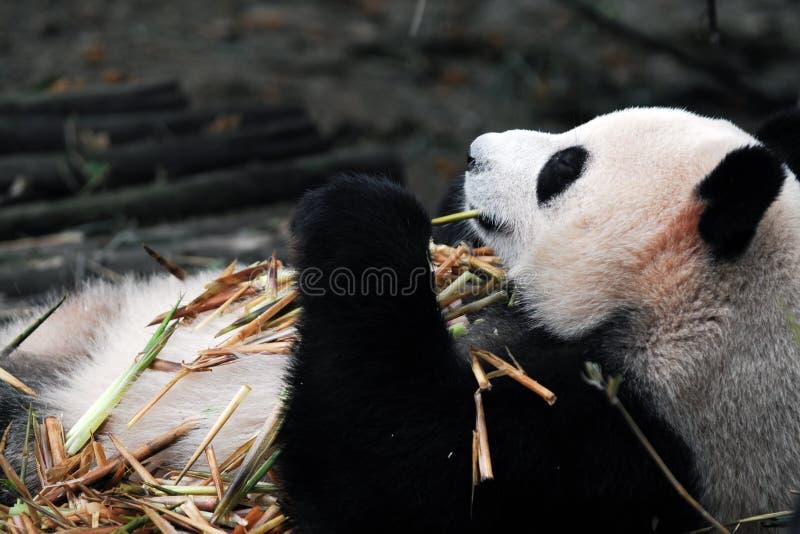 China-riesiger Panda stockfoto