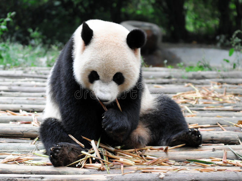 China-riesiger Panda stockfotografie