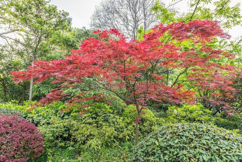 China Rojo-hojeada de Shangai del árbol de los bonsais fotografía de archivo