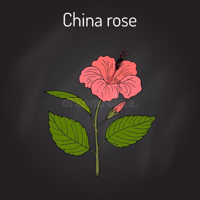 China rose Hibiscus rosa-sinensis , or shoeblackplant - flowering plant stock illustration