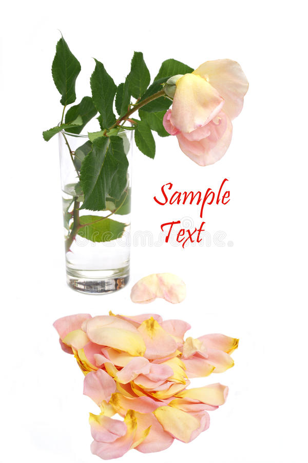 Download China Rose Losing Its Petals Card Stock Photo - Image of perfection, color: 26549584