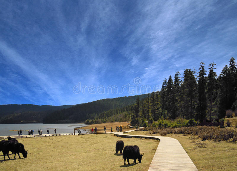 China's shangri-la. Of all gang lake is China's shangri-la famous ranch, here vast pastures, aquatic call, every year chun xia, the herds of cattle and sheep royalty free stock photos