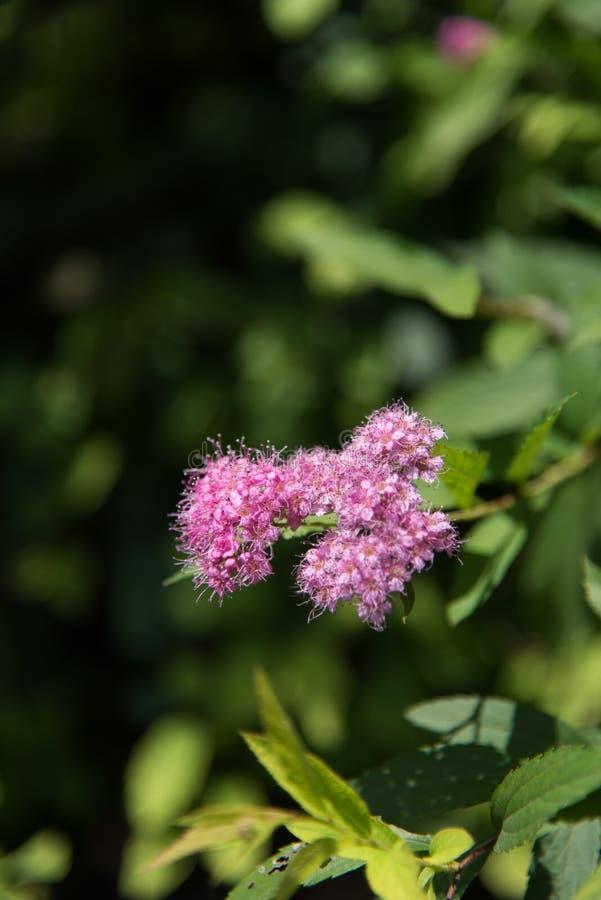 China soleada del verano de la flor hermosa foto de archivo libre de regalías