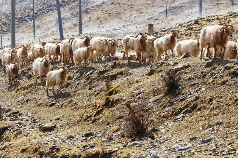 China southwest landscape snow mountain with grazing sheep and goats on fog in the sidewalk. China stock image