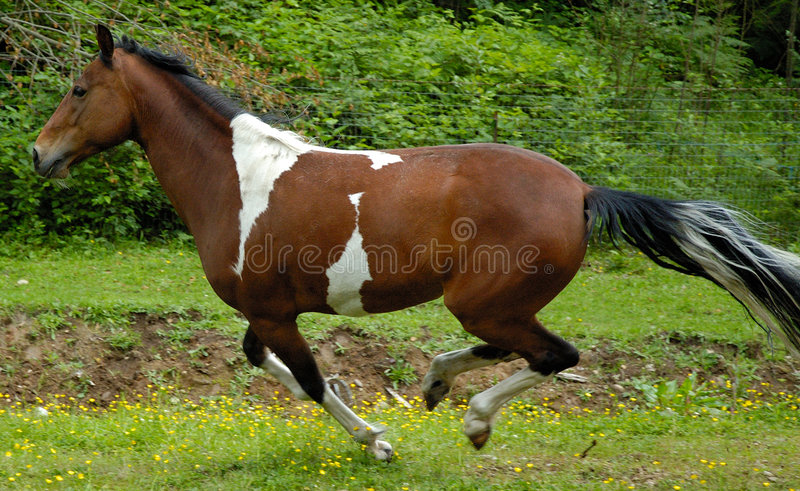 China Tennessee Walker royalty free stock image