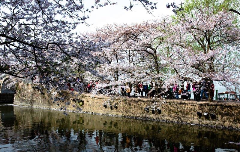 China Wuxi Shantou Cherry Blossom Festival stock photo