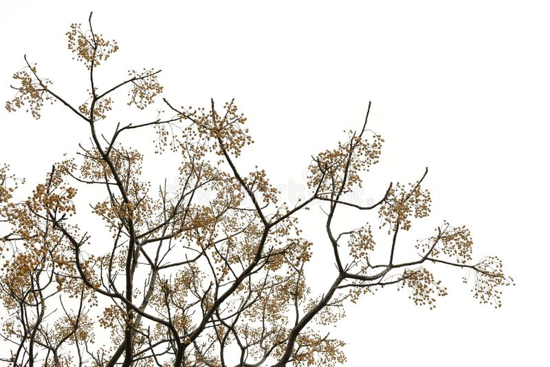 Chinaberry tree branches. With drupes on white background royalty free stock photography