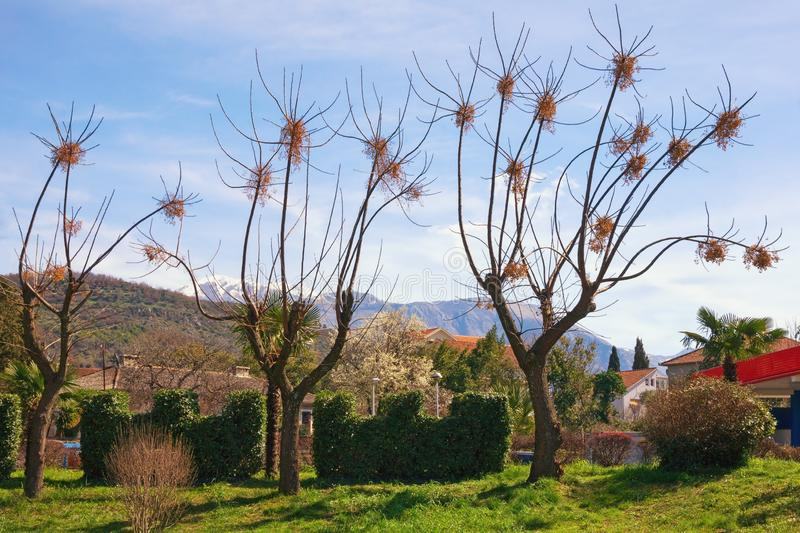 Chinaberry trees with yellow clusters of fruit in Mediterranean park on sunny March day. Montenegro, Tivat city. Chinaberry trees Melia azedarach with yellow stock photography