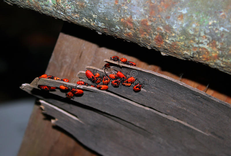 Chinches beetles red soldiers stock photo