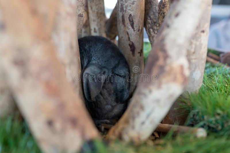 Chinchila que esconde afastado para dormir imagens de stock