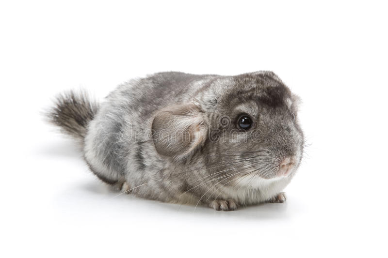 Chinchilla photo libre de droits