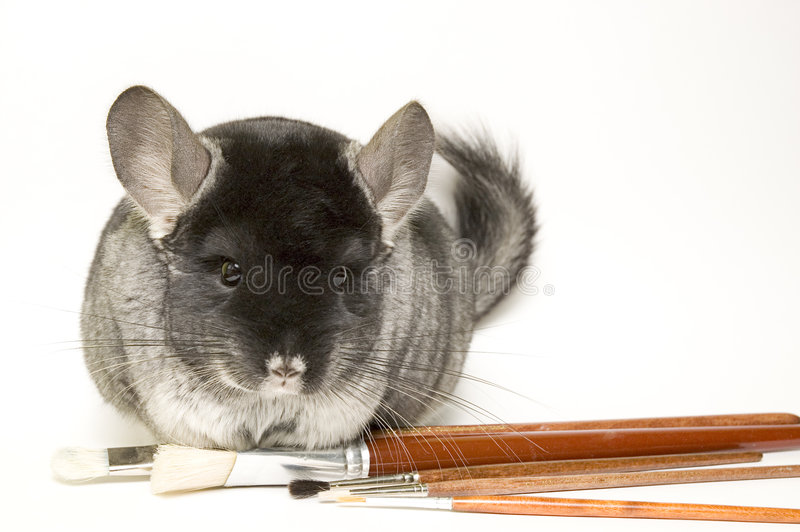 Chinchilla photographie stock libre de droits