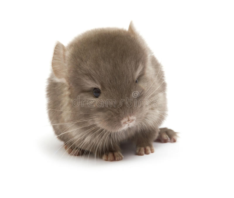 Chinchilla images libres de droits