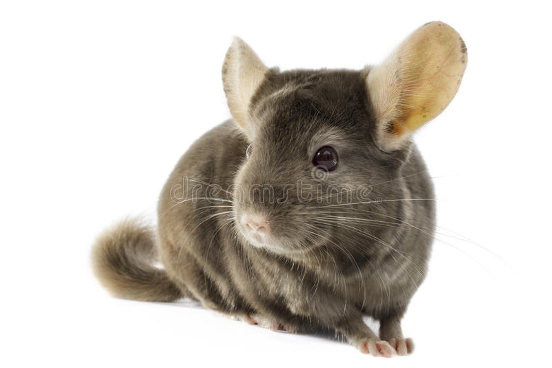 Chinchilla stock fotografie