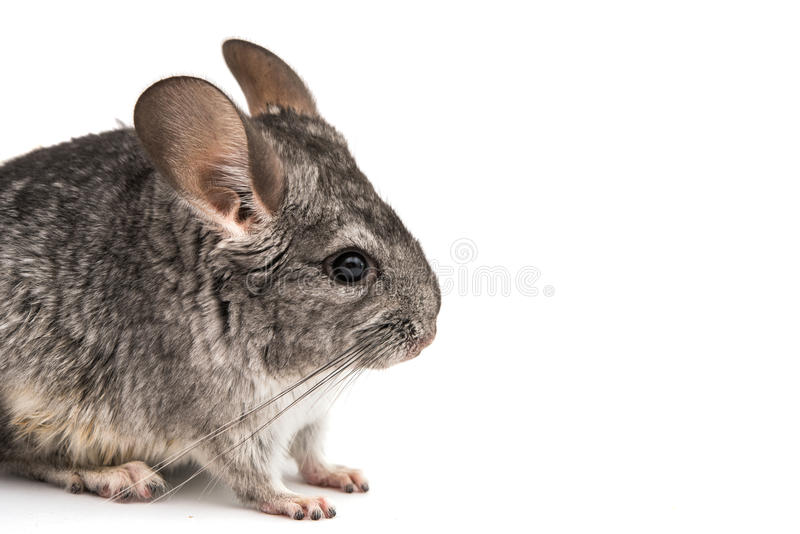 chinchilla photo stock