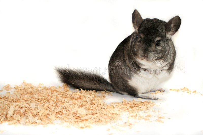 Chinchilla stockfoto