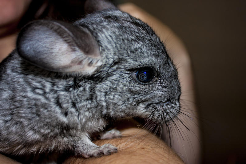 chinchilla arkivfoton