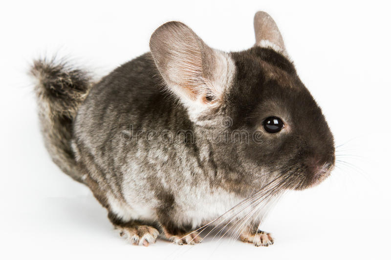 Chinchilla argenté images stock