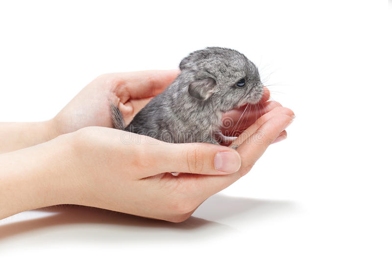 Chinchilla baby sitting on hands. Cute baby chinchilla sitting on girl hands. Studio shot. Copy space. Isolated over white background royalty free stock photos