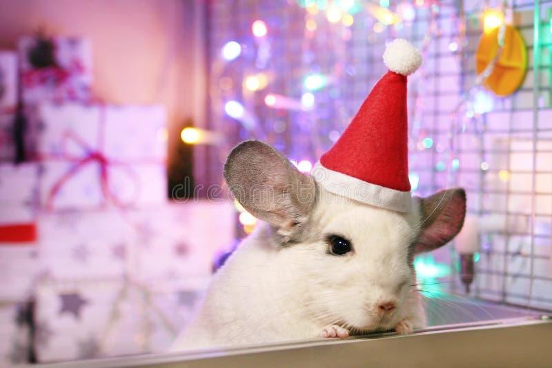 Chinchilla blanca linda con el sombrero rojo de Santa Claus en un fondo de las decoraciones de la Navidad y de las luces de la Na imagen de archivo libre de regalías