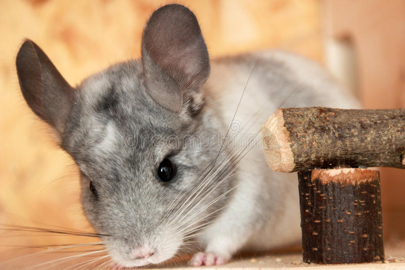 Download Chinchilla Chinchillidae stock photo. Image of rodent - 83708096