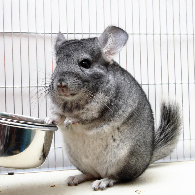 Chinchilla dans sa cage photo libre de droits