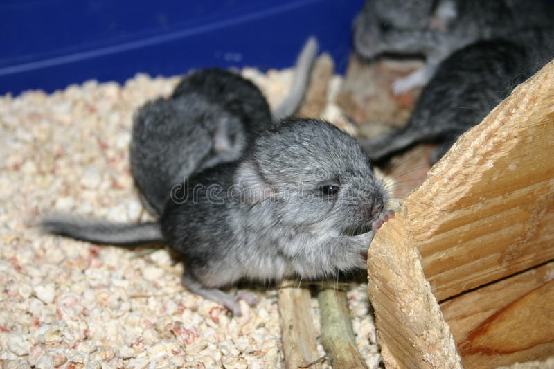Chinchilla de bébé images stock