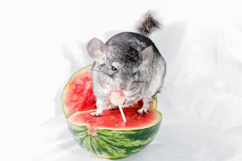 Chinchilla, die auf einer Scheibe der Wassermelone Lutscher essend sitzt lizenzfreies stockfoto