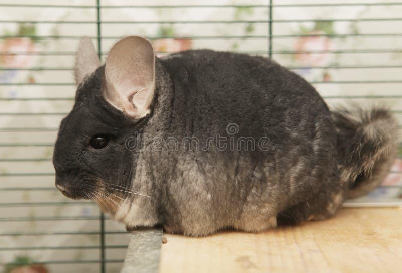 Chinchilla, die in einem Käfig sitzt lizenzfreie stockfotos