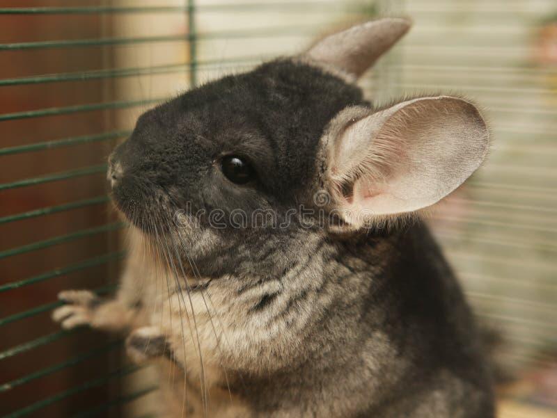 Chinchilla, die in einem Käfig sitzt lizenzfreie stockfotografie