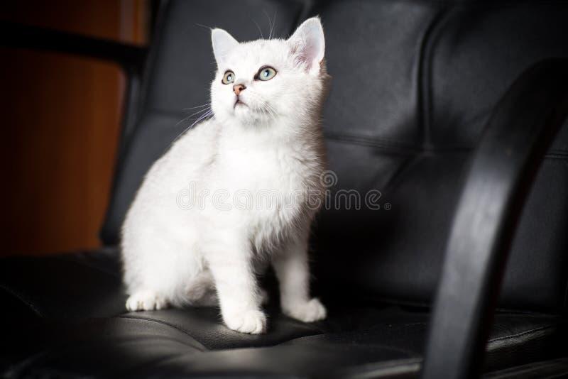 Chinchilla escocesa de la raza joven hermosa del gato derecho fotos de archivo libres de regalías