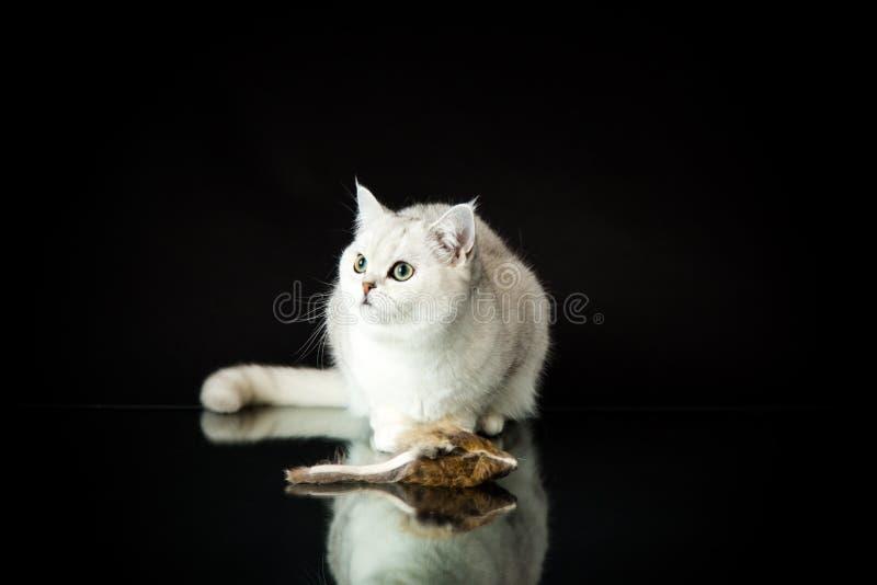 Chinchilla escocesa de la raza joven hermosa del gato derecho fotos de archivo