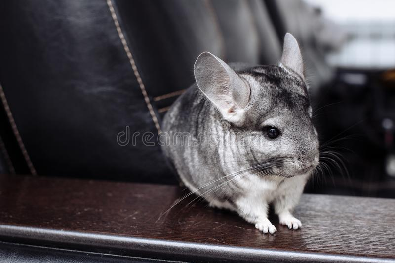 Chinchilla gris vous regardant Joli animal familier image libre de droits