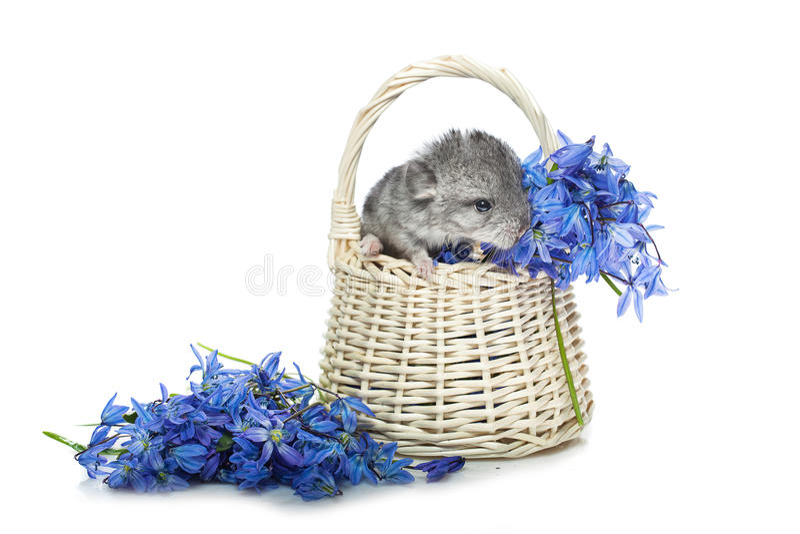 Chinchilla in mand met bloemen royalty-vrije stock foto