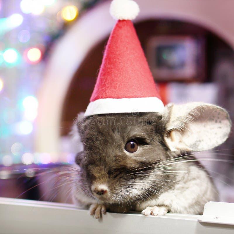 Chinchilla marrón linda con el sombrero rojo de Santa Claus en un fondo de las decoraciones de la Navidad y de las luces de la Na imagenes de archivo