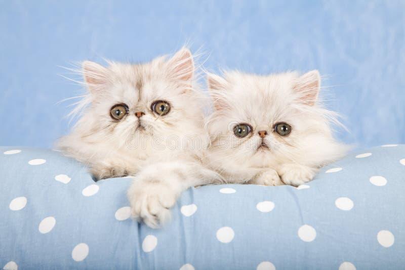 Chinchilla Persian kittens on blue royalty free stock photo