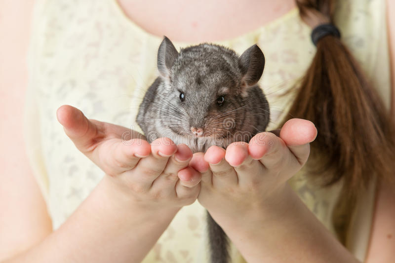 Chinchilla se reposant sur des mains image stock