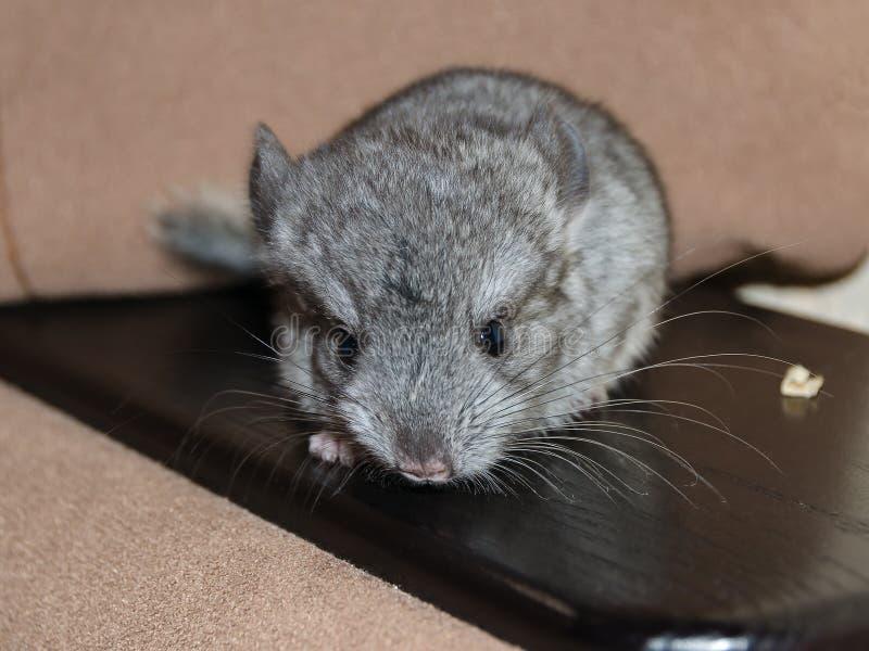 Chinchilla, sentada del bebé foto de archivo libre de regalías