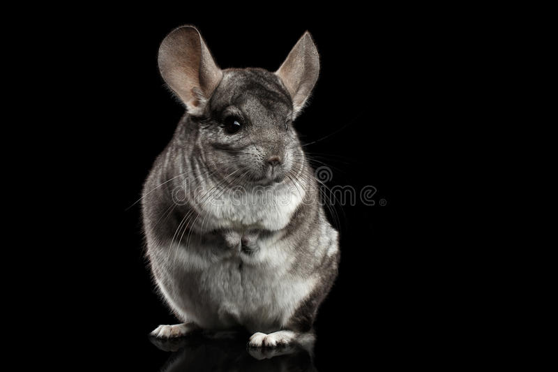 Chinchilla sur le fond noir photo stock