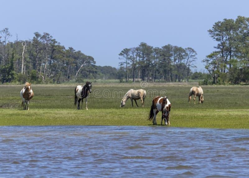 Chincoteague Ponies Grazing langs Chincoteague Bay stock afbeeldingen