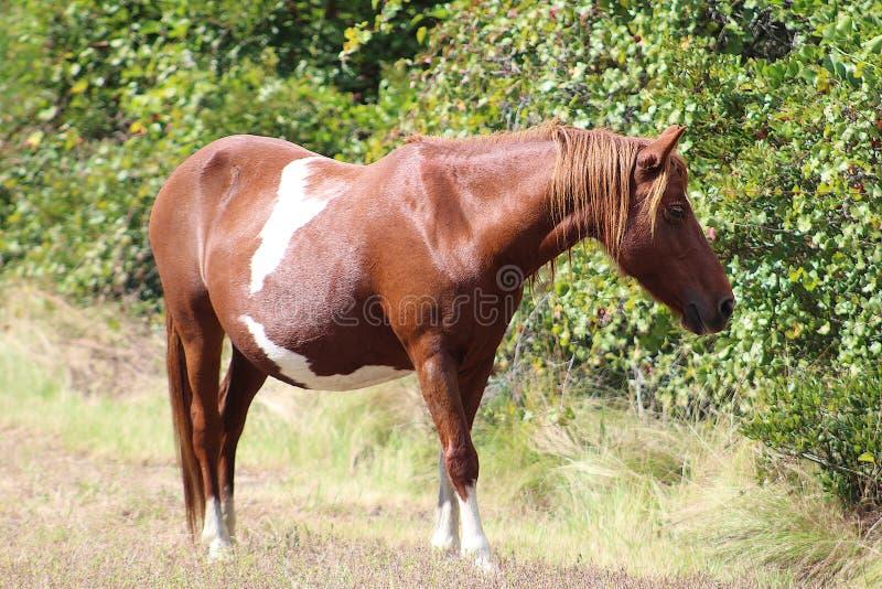 Chincoteague-Pony lizenzfreies stockfoto