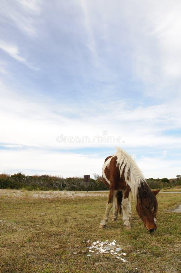 Download Chincoteague Pony Chance stock photo. Image of vast, mammal - 14868846