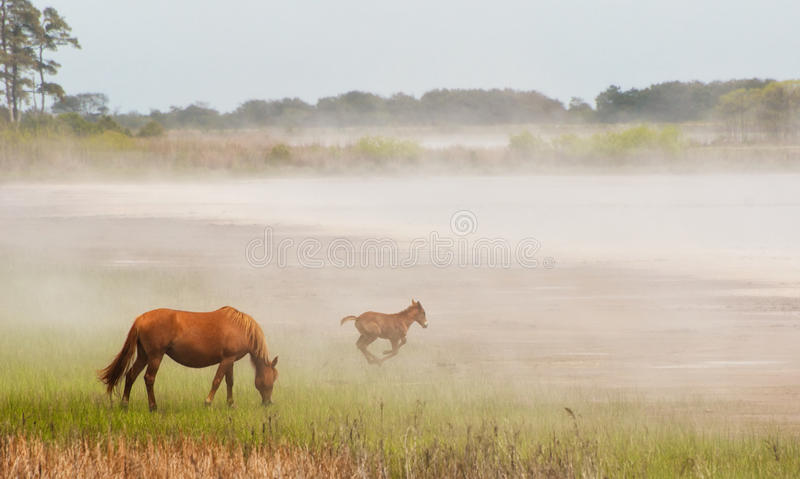 Chincoteague Pony and Foal stock photos