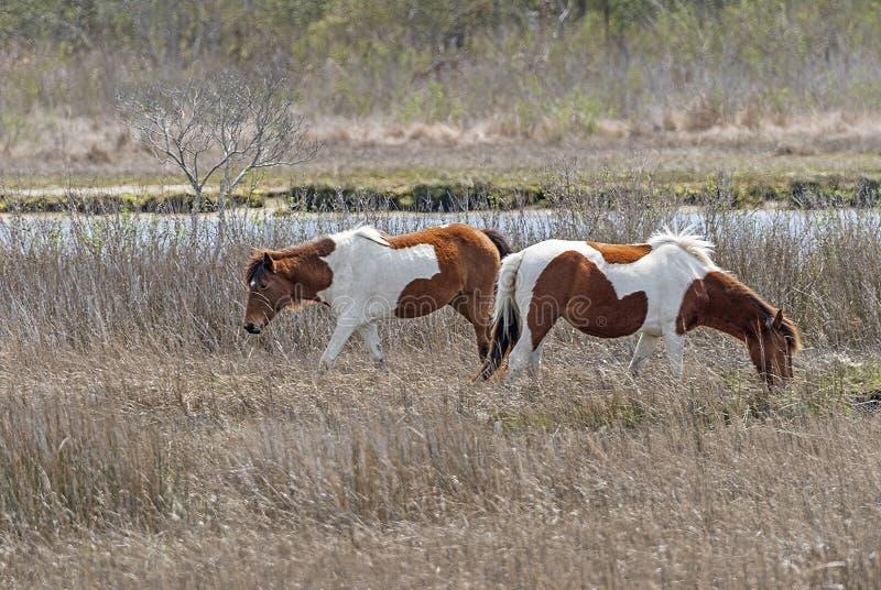Chincoteague-Ponys in einem Küstensumpfgebiet stockbilder
