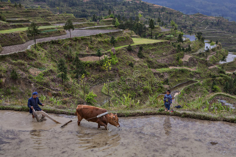 Chinees boer ploegend padieveld, die macht van rode buffels gebruiken stock afbeeldingen